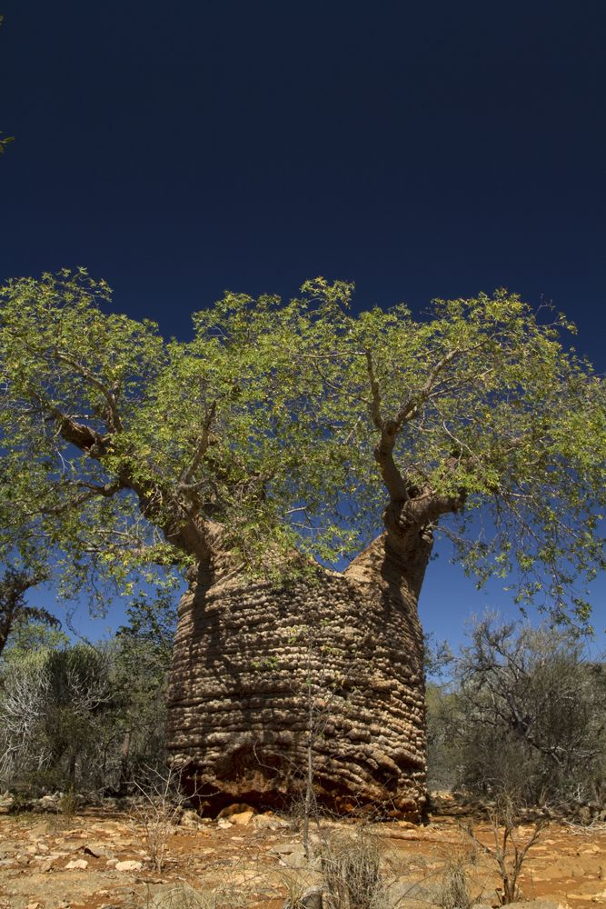 The oldest baobab in Madagascar