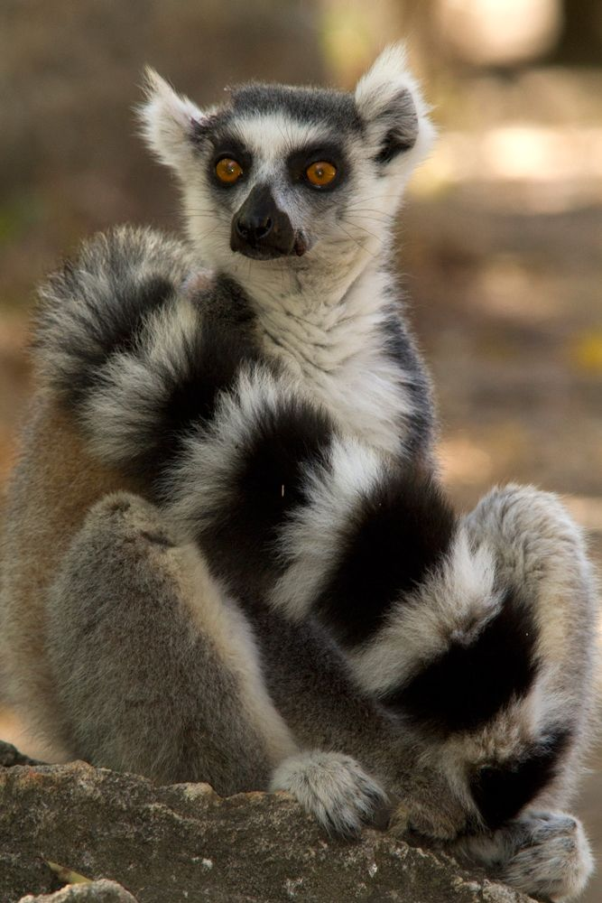 Ring-tailed Lemur, Madagascar