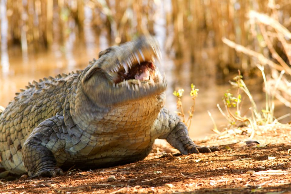 mad_0050.jpg - Crocodile