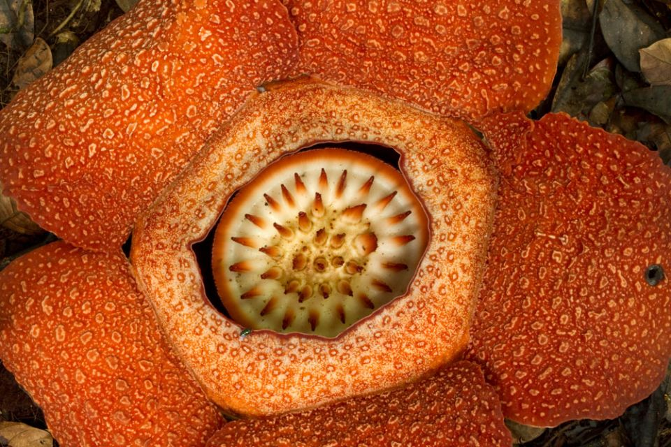 - Rafflesia - the biggest flower in the world, Borneo